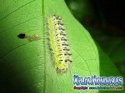 melanis-pixe-sanguinea-mariposa-13-gusano