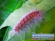 melanis-pixe-sanguinea-mariposa-16-gusano