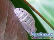 melanis-pixe-sanguinea-mariposa-20-capullo