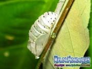 melanis-pixe-sanguinea-mariposa-21-capullo