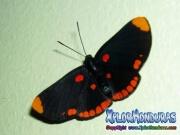 melanis-pixe-sanguinea-mariposa-22-butterfly