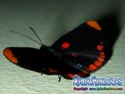 melanis-pixe-sanguinea-mariposa-23-butterfly