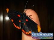 melanis-pixe-sanguinea-mariposa-24-mariposa