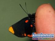 melanis-pixe-sanguinea-mariposa-25-mariposa