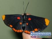 melanis-pixe-sanguinea-mariposa-26-mariposa