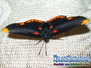 melanis-pixe-sanguinea-mariposa-27-mariposa