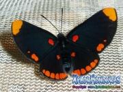 melanis-pixe-sanguinea-mariposa-28-mariposa