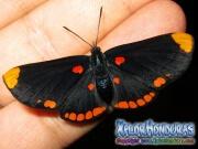 melanis-pixe-sanguinea-mariposa-29-mariposa