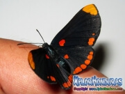 melanis-pixe-sanguinea-mariposa-30-mariposa
