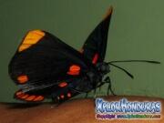 melanis-pixe-sanguinea-mariposa-31-mariposa