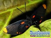 melanis-pixe-sanguinea-mariposa-32-mariposa