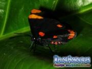 melanis-pixe-sanguinea-mariposa-33-mariposa