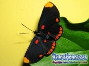 melanis-pixe-sanguinea-mariposa-34-mariposa