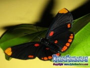 melanis-pixe-sanguinea-mariposa-35-mariposa