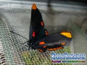 melanis-pixe-sanguinea-mariposa-36-mariposa