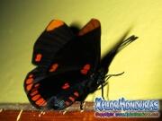 melanis-pixe-sanguinea-mariposa-37-mariposa