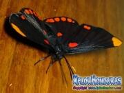 melanis-pixe-sanguinea-mariposa-38-mariposa