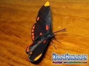 melanis-pixe-sanguinea-mariposa-39-mariposa