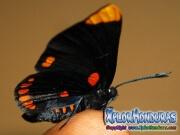 melanis-pixe-sanguinea-mariposa-40-mariposa