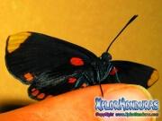 melanis-pixe-sanguinea-mariposa-41-mariposa