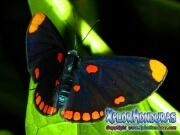 melanis-pixe-sanguinea-mariposa-42-mariposa
