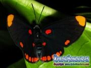 melanis-pixe-sanguinea-mariposa-43-mariposa