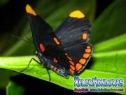 melanis-pixe-sanguinea-mariposa-44-mariposa