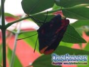 melanis-pixe-sanguinea-mariposa-45-mariposa