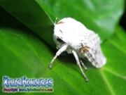 caterpillar  Hypercompe scribonia Ecpantheria scribonia giant brown Leopard Moth