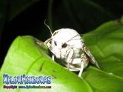 giant brown Leopard Moth Hypercompe scribonia Ecpantheria scribonia