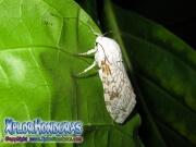giant Leopard Moth catterpillar Hypercompe scribonia