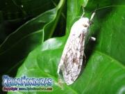 Hypercompe scribonia giant brown Leopard Moth Honduras