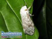 Leopard Moth Hypercompe scribonia