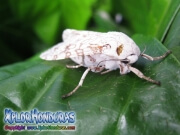 mariposa nocturna leopardo cafe Hypercompe scribonia Leopard Moth