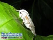 mariposa nocturna leopardo cafe Leopard Moth Hypercompe scribonia