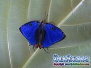Butterfly Panthiades bathildis Zebra Cross streak