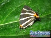 Butterfly Zebra Cross streak Panthiades bathildis honduras