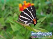 Butterfly Zebra Cross streak Panthiades bathildis