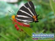 Mariposa doble cabeza Panthiades bathildis Zebra Cross streak