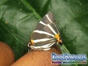 Mariposa Panthiades bathildis Zebra Cross streak honduras