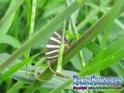 Mariposa Panthiades bathildis Zebra Cross streak