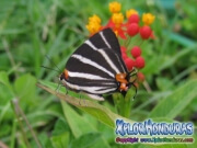 Zebra Butterfly Zebra Cross streak Panthiades bathildis
