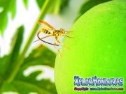 Mosca de la papaya papaya fruit fly