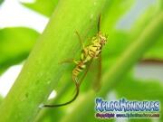 Mosca de la papaya hembra Toxotrypana curvicauda
