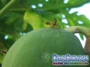 Mosca de la papaya macho papaya fruit fly male