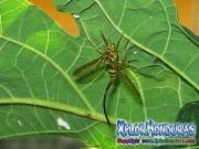 Mosca de la papaya papaya fruit fly female