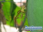 Mosca de la papaya Toxotrypana curvicauda