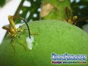 papaya fruit fly female and male Mosca de la papaya hembra y macho