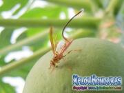 papaya fruit fly female toxotrypana curvicauda