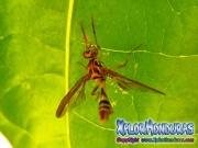 papaya fruit fly male Mosca de la papaya macho